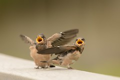 We're Hungry! (Kitty Kono) Tags: barnswallows johnheinznationalwildliferefuge kittyrileykono