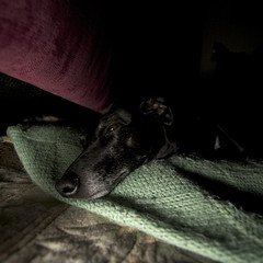 Sleeping in the shadows (GailShamezaRajgor (Rage With A Smile Photography)) Tags: dog pet pets cute love dogs canon whippet blackdog sleepy sleepydog canoneos lurcher sleepingdog dogtired canoneos5d bedlington whippetbedlington whippetcross canoneos5dmarkii canon5dmkii canoneos5dmkii