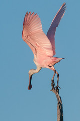 Roseate Spoonbill (.James Brian Clark) Tags: pink blue red wild sky reflection bird nature water ecology animal rose fauna spread flying bill wings funny colorful florida outdoor wildlife birding flight beak feathers feather waterbird spoon shore everglades tropical species marsh endangered waterfowl darling ornithology birdwatching rare avian wading wetland protected spoonbill roseate plumage roseatespoonbill endangeredspecies wader wadingbirds plataleaajaja ajaia ajaja platalea