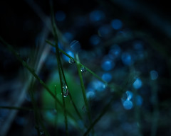 Dark & Dreary (Gabriel Tompkins) Tags: blue blur macro nature water grass closeup dark prime dawn washington droplets spring flora nikon soft spokane shadows dof bokeh dew pacificnorthwest 60mm nikkor washingtonstate lowkey pnw springtime subdued micronikkor d90 spokanevalley 2013 inlandnorthwest nikond90 60mmf28gmicro 60mmf28g tronam gabrieltompkins