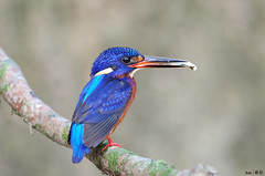 Blue Eared Kingfisher with fish in mouth (Ken Goh thanks for 1,800,000+ views) Tags: lighting blue wild food fish cute male field pose flickr dof pentax sigma clean fim kingfisher perch depth avian creamy kf eared smallbird fishinmouth 500f45 k5iis