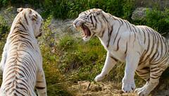 Tigres blancs - Explored (Oric1) Tags: 77 nesles pantheratigris parcdesfélins seineetmarne tigre blanc img5415jpg explore explored tiger white oric1 france eos 7d 2013 bestof mostinteresting jeanlucmolle