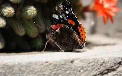 (alexandra.major) Tags: blue light red cactus orange sunlight flower color colour macro green love nature beautiful beauty sunshine yellow closeup yard butterfly garden insect outside fly petals wings flora colours purple bokeh gorgeous dream lilac stunning