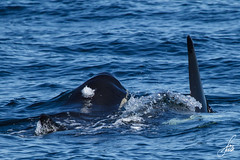 Killer Whale About to Blow (SorenHedberg) Tags: nature killer whale orca widlife