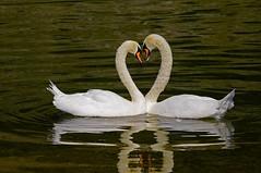 Cygnes tuberculés,le classique (jd.echenard) Tags: swan heart coeur cuore herz corazón cygnes serce zemër