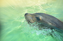 Swimming by (Felicity&Dougall) Tags: sea playing lion whiskers sealion swiming waterbubbles
