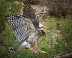 Cooper's Hawk (Schooksonruss) Tags: bird nature hawk raptor hunter coopershawk tucsonarizona accipitercooperii schooksonruss russellcstokes