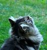 6 (Miiaou) Tags: chaton persan