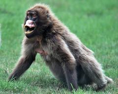 DSC_0698 (Daysleeper40) Tags: wild dog zoo african tiger lion leopard bigcat baboon lynx howletts wilddog