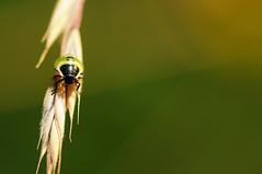 Larve einer Wanze (WolfgangDengler) Tags: macro green nikon bokeh ngc sb600 grün makro insekt wanze cls d300 larve micronikkorafs105mmf28vr