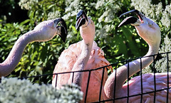 Flamingo Fracas (Wes Iversen) Tags: birds flamingos lincolnparkzoo zoos hcs nikkor18300mm clichsaturday