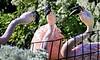 Flamingo Fracas (Wes Iversen) Tags: birds flamingos lincolnparkzoo zoos hcs nikkor18300mm clichésaturday