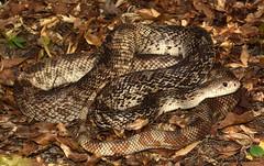 Florida Pine Snake (Pituophis melanoleucus mugitus) (JLoyacano) Tags: pine florida reptile snake herps pituophis melanoleucus mugitus pinesnake jacobloyacano
