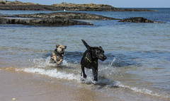Nina and new friend (stuart.renneberg) Tags: dog dogs seaside nikon labrador action nina blacklabrador dogsplaying beachcoast watersea nikond7100
