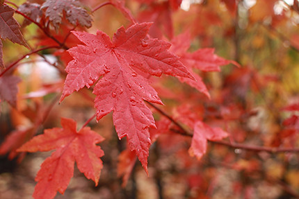 Planting Maples Trees for Fall Color