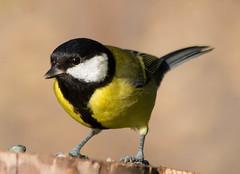great tit 2 (Dawn Porter) Tags: bird nature somerset greattit nbw