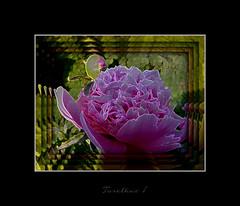 Experiment. (tarelkaz1) Tags: pink flowers summer macro green texture garden crazy flora memories experiment topshots flickraward photosandcalendar flowersarebeautiful excellentsflowers natureselegantshots naturethroughthelens sonydscs730 theoriginalgoldseal mygearandme ipiccy