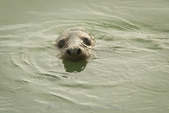 gewone zeehond / harbour seal (nature photography by 3620ronny.be) Tags: holland nature netherlands canon nederland natuur zeeland grevelingenmeer harbourseal naturephotography zeehond brouwersdam natuurfotografie spuisluis gewonezeehond canon7d 3620ronny canonef300mmlf4