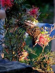 red throat wattle bird (damselfly58) Tags: bird wattlebird australianbird