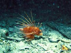 IMG_2102 (Net Diver) Tags: travel nature coral thailand island alpina diving padi phuket reef вода природа отель путешествия owd остров обучение rachayai 2013 kohrachayai тайланд риф пхукет открытая коралловый andamanian