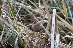 Wren and no Stimpy (Bruce Stokes) Tags: bird animal wren coventry coombeabbey sonya37 2014birdchallenge