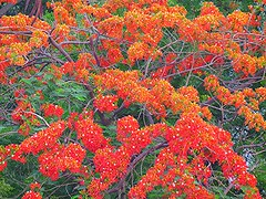 1IMG_3854 GULMOHAR BLOOM IN NOIDA INDIA (Rajeev India (THANKS for views, comments n faves)) Tags: noida india bloom in gulmohar