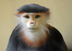 Kleideraffe (karinrogmann) Tags: monkey kölnerzoo scimmia kleideraffe