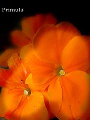 orange primula flowersinthejanuarygarden