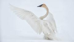Trumpeter Swan (Cygnus buccinator) (ER Post) Tags: bird swan unitedstates michigan hickorycorners kelloggbirdsanctuary trumpeterswancygnusbuccinator