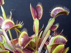 "Dionaea Muscipula ""Royal Red"" (James Stevens Carnivorous Plants and Tarantulas) Tags: dionaea muscipula royalred"