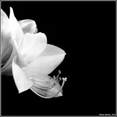 Amaryllis. Bronica-S2, Orwo NP20, exp:1992. (Andrey Maltsev) Tags: old flowers bw 120 6x6 film canon tulips scan 120film bronica amaryllis tulip scanned 1992 220 expiredfilm orwo bwfilm middleformat 8800 blackandwhitefilm bronicas2 iso80 orwonp20 np20 canon8800f amarillius {vision}:{outdoor}=0912 {vision}:{sky}=0726 {vision}:{clouds}=0815