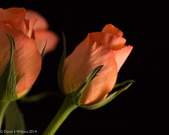 Roses (David S Wilson) Tags: uk flowers england rose ely fens lightbox onblack 2014 nikon1 davidswilson lightroom5 nikonft1 micronikkor40mmf28lens