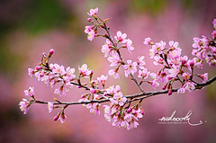 Wild Himalayan cherry blossom (mdoooth) Tags: pink wild flower cherry branch blossom chiangmai himalayan khunchangkian
