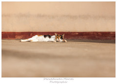 cat (Den Boma Files) Tags: sleeping portrait pet white cute beautiful animal fauna cat fur mammal one kitten feline looking view shot background small young posing nobody domestic species playful isolated