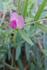 Wild Legume (inthepotter'shands) Tags: pink flower weed texas purple magenta wildflower legume leguminosae