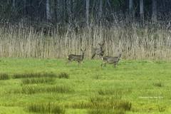 - Frozen moment - (Veronica Van Peet | Photography) Tags: green reed animal animals landscape three countryside woods waiting deer deers frozenmoment veronicavanpeet veroonsvision nikond7100