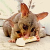 banana for dinner (Grenzeloos1) Tags: possum baby eating banana brisbane mum queensland kenmore
