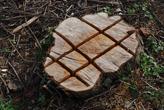 Nature is incompatible with excel tables (offroadsound) Tags: tree table arbol memory trunk rest stumpf arbre baum remain landart chainsawmassacre baumstumpf natureisincompatiblewithexceltables