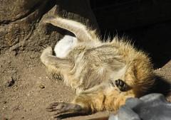 "MEERKAT 300_273 (Dancing with Ghosts Graphics) Tags: copyright cute animal mammal meerkat pups small gang mob 300 clan mongoose angola sentry suricate burrows suricatta desert"" diurnal 2013 fawncolored herpestid iteroparous ""kalahari dwgg ""namib debbrawalker feliform dancingwghosts ""suricata suricatta"" ""botswana"" oraging siricata"" majoriae"" iona"""