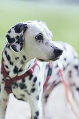 Gina - 14 years old (Bea Burin-Herbst | Fotografie) Tags: dog pet pets dogs gina hund haustier dalmatian hunde tier dalmatiner petphotography hündin tierfotografie petphotographer haustierfotografie burinherbstphotography
