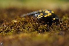 Salamandra salamandra - Salamandre tachete (Ruddy Cors) Tags: macro nikon amphibians amphibia amphibien salamandre salamandrasalamandra firesalamander amphibiens feuersalamander salamandridae vuursalamander salamandretachete d300s urodles
