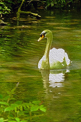 Swan Tehidy Nature Reserve Cornwall (Cornishcarolin. Thank you everyone xxxx) Tags: nature birds cornwall wildlife swans filters oilpaint tehidycountrypark oilpaintfilter