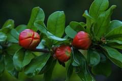 Eclosion  ! (Les photos de LN) Tags: fleur fruit rouge printemps boules coque éclosion végétation baies floraison