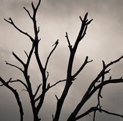 Chobe Silhouette (rachhouse) Tags: tree bird silhouette branches botswana chobe hornbill chobenationalpark