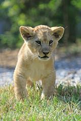 Lionceau (olivier.ghettem) Tags: lion felin zoodevincennes animalsauvage lionceau parczoologiquedeparis zoodeparis