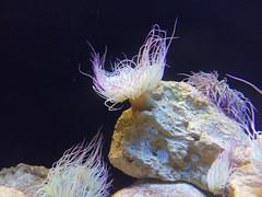Un peine, por favor - A comb, please (PE TE RA) Tags: portugal aquarium see mar algarve anemones acuario anmonas marineanimals animalesmarinos