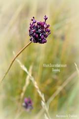 Skovlg (marianneaugustinus) Tags: life red flower color colour green nature field denmark flora europe roadtrip danmark blomster