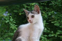Agatina (Franco Serreli) Tags: sardegna sardinia gatti animali mici selargius