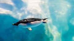 DSC04249 (a99775599) Tags: fish museum penguin aquarium marine sony taiwan national  biology     pingtung 2015  a6000 pz1650