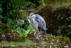 Heron & Prey (Lancashire Photography.com) Tags: heron wales river grey north prey snowdonia afon llugwy